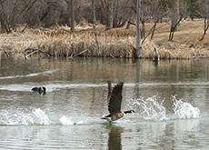 Tug swimming after a Canada goose