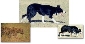 A cat's body language while hunting is mimicked by Fawn and Tug as they approach some sheep.
