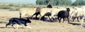 Sheep moving away from Fawn, a smooth coat Border Collie.