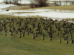Mess of geese on golf green.
