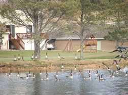 Geese in Valley yard and pond.