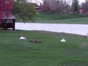 Canada geese, comfortable with swans.