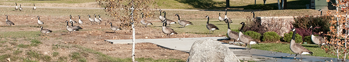 Lots of Canada geese on a walkway.