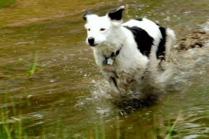 Marley running in water.