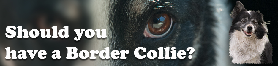 Should you have your own Border Collie?