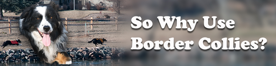 So Why Use Border Collies to deterrence Canada geese?