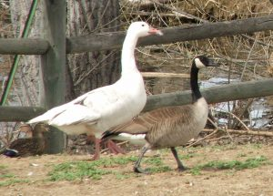 Canada goose with farm goose. Waiting to be fed, like the farm goose.
