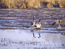 Canada geese in a marsh.