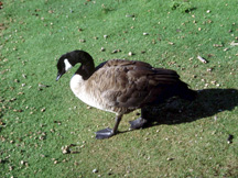Canada goose walking through droppings.