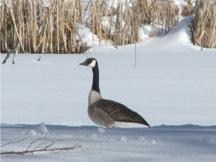 Canada goose in snow.