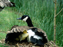 Canada goose with goslings under her wing