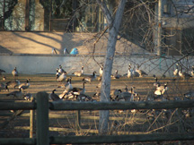 Canada geese, gathered and waiting to be feed by an overzealous bird lover.