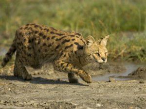 A hunting wild cat, stalking it's prey.