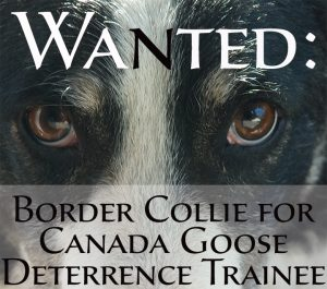 Wanted: Border Collie for Canada Goose Deterrence Training